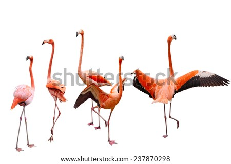 Set of five pink flamingo birds isolated on white background - stock photo
