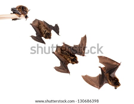 Set of Flying Northern bat (Eptesicus nilssonii), isolated on white. - stock photo