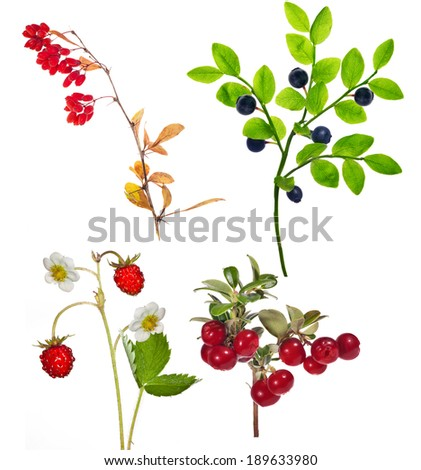 set of forest berry branches isolated on white background