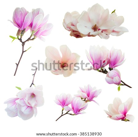 Set of fresh blooming  pink magnolia   flowers isolated on white background - stock photo