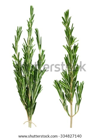 Set of fresh green rosemary sprig and bunch of rosemary sprigs tied with rope isolated on a white background. Design element for product label. - stock photo