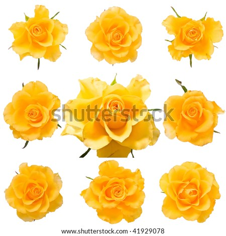 Set of fresh yellow roses isolated on white - stock photo