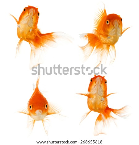Set of Gold fish isolated on white background - stock photo