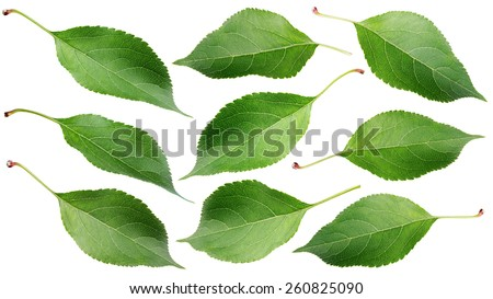 Set of green apple leaves isolated on white background - stock photo
