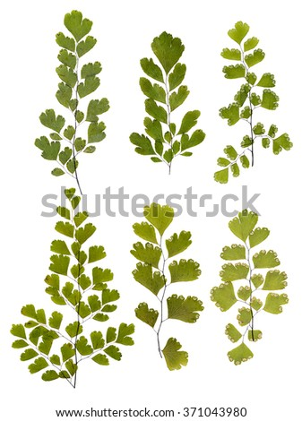 Set of green fern leaves pressed, isolated - stock photo