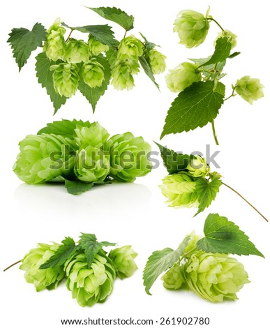 set of green hops isolated on the white background - stock photo