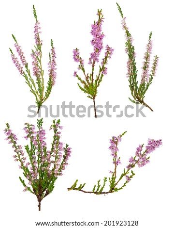 set of heather with light pink flowers isolated on white background - stock photo