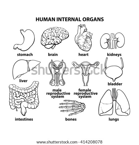 Set Human Organs Vector Different Entrails 401667820 also CmVjdHVtIGRpYWdyYW0 besides 342notes7 likewise Worming additionally Digestive Systems And Digestion Part 1 Flash Cards. on how long is the large and small intestines