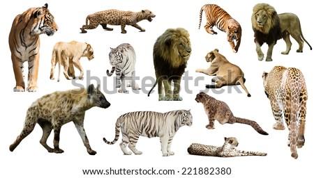 Set of  hyena, leopard  and other feliformia on white background   - stock photo