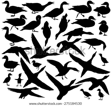 Set of illustrated silhouettes of ducks and ducklings standing, walking, swimming, diving and flying - stock photo
