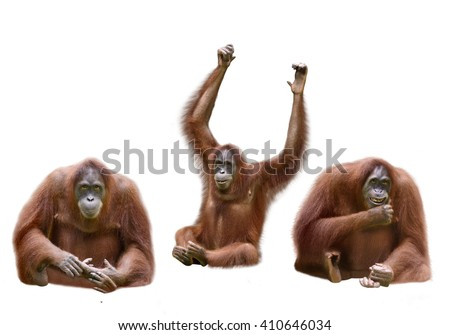 Set of image orangutan isolated over white background - stock photo