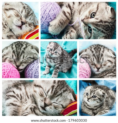 set of images of a small Scottish Fold Kitten in different poses    - stock photo