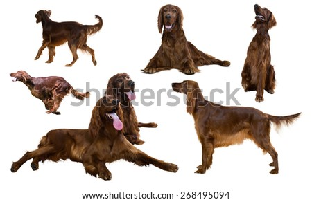 Set of Irish Setters on white background - stock photo