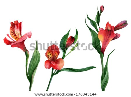 Set of isolated Alstroemeria flowers. Watercolor illustration - stock photo