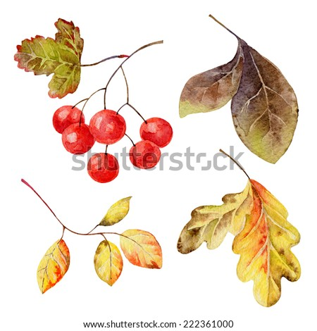 Set of isolated elements of   leaves and berries. Watercolor illustration