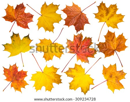 Set of isolated multicolored maple leaves on white background. - stock photo