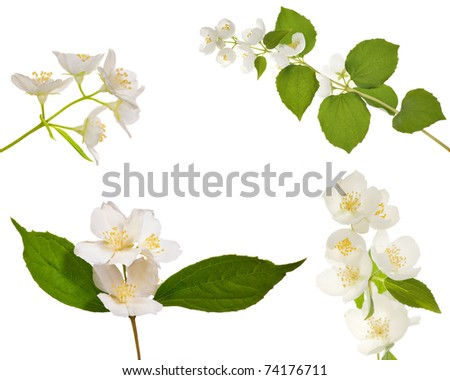 set of jasmin branches with flowers isolated on white background - stock photo