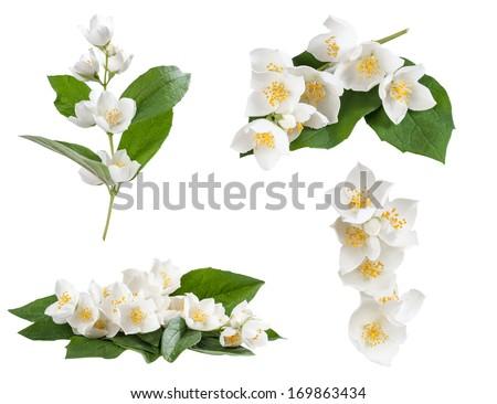 Set of jasmine flowers isolated on white background - stock photo