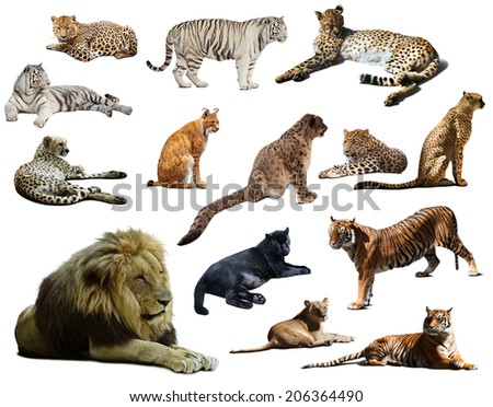 Set of  lion and other big wildcats. Isolated over white  with shade - stock photo