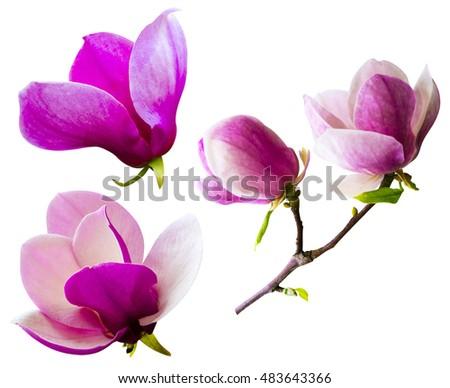 set magnolia flowers isolated on whiteの写真素材 ロイヤリティフリー