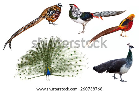Set of male indian Peafowl and  pheasant  birds. Isolated over white background - stock photo