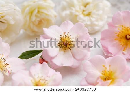 Set of many rose on lace - stock photo