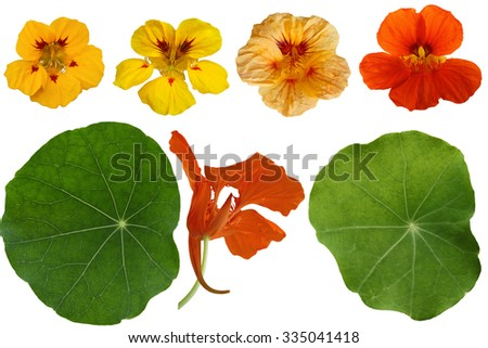 Set of Nasturtium Dwarf Jewel Capuchina isolated on white background - stock photo