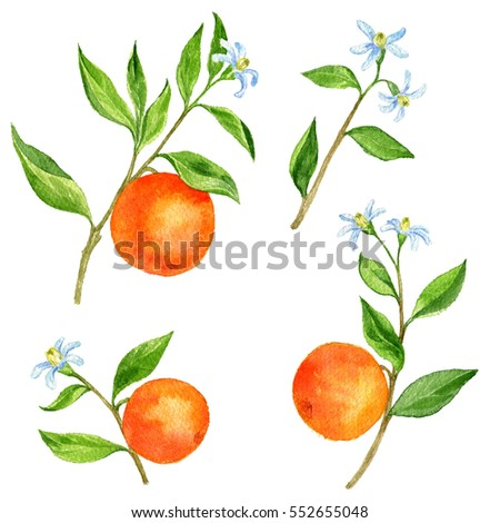 set of orange tree branches with fruits, leaves, buds and flowers drawing by watercolor, isolated hand drawn elements