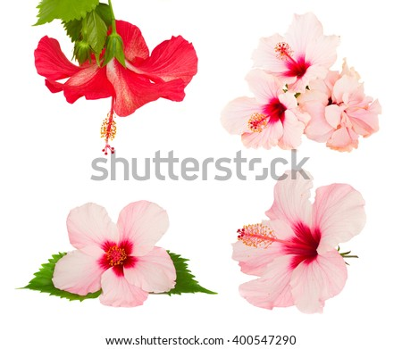 set of pink and red pink hibiscus flower isolated on white background - stock photo
