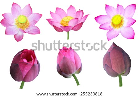 Set of pink nelumbo Nucifera lotus flower and bud isolated on white background - stock photo