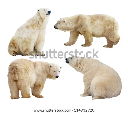 Set of polar bears. Isolated over white background - stock photo