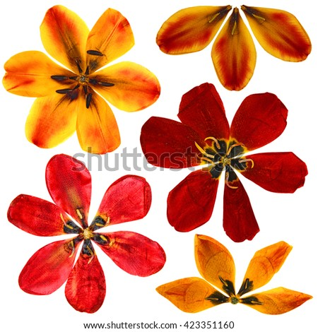 Set of pressed  tulip perspective, dry delicate yellow, red, orange flowers and petals isolated on white scrapbook background - stock photo
