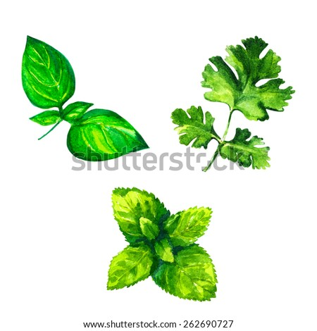 Set of realistic watercolor illustration herbs on white background. Basil, oregano, parsley.