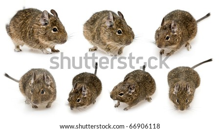 set of rodent degu isolated on white