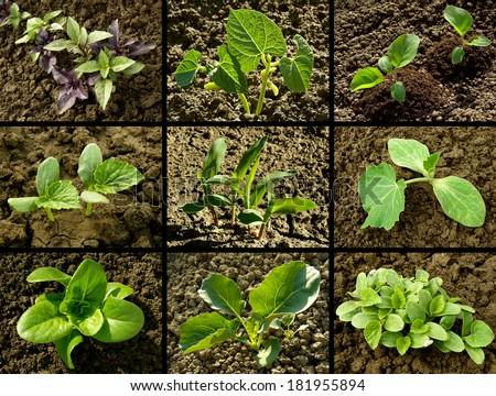 set of seedlings growing on vegetable beds - stock photo