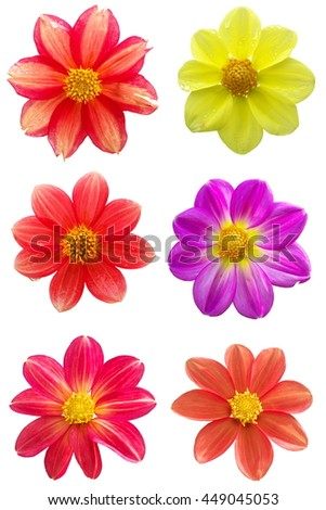 Set of six dahlia single-flower flower heads isolated on white background
