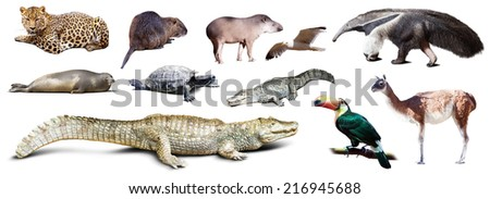 Set of  spectacled caiman and other animals of South America over white background with shade - stock photo