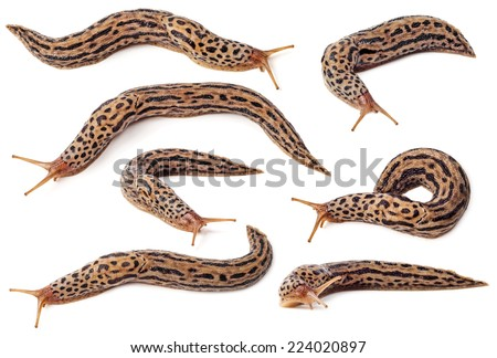 Set of spotted slugs isolated on white background