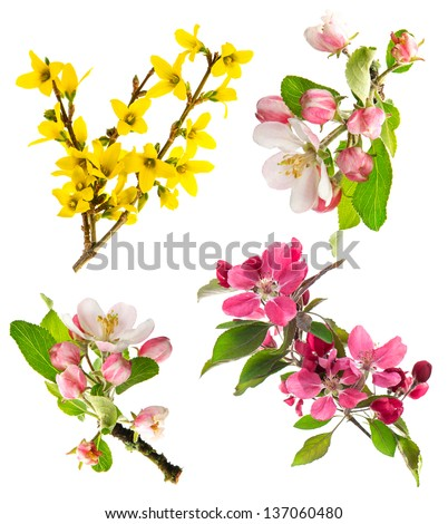 set of spring flowers isolated on white background. blossoms of apple tree, cherry twig, forsythia - stock photo
