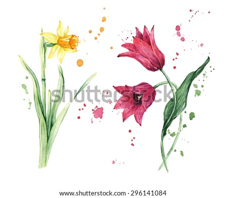 Set of spring garden flowers, Daffodil or Narcissus, Tulips, Hand drawn watercolor illustration - stock photo