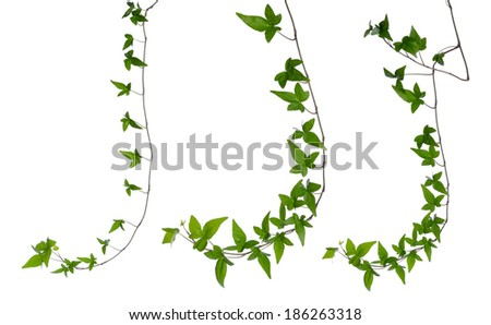 Set of straight green ivy (Hedera) stem isolated on white background. Creeper Ivy stem with young green leaves. - stock photo