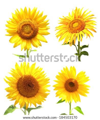 Set of sunflowers. Isolated on white background - stock photo