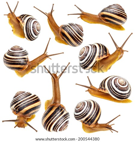 Set of the garden snail isolated on white background  - stock photo