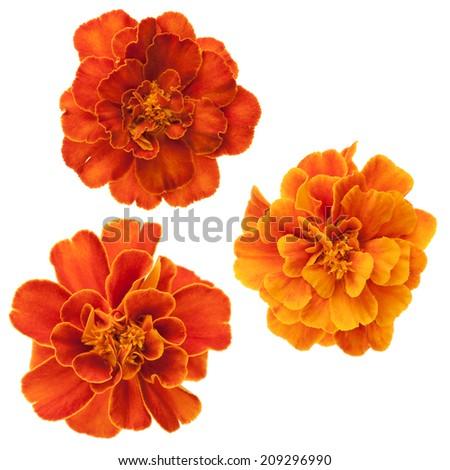 Set of three french marigolds (Tagetes patula) isolated on white. - stock photo