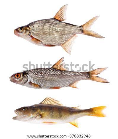 set of three freshwater fishes isolated on white background - stock photo