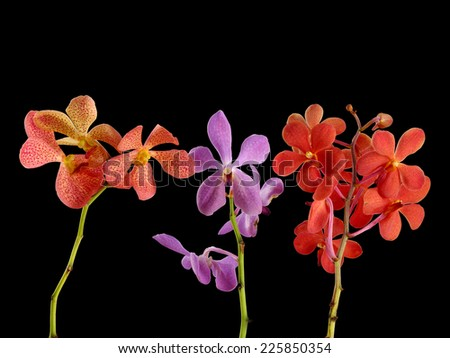 Set of Three orchid with stem isolated on black background - stock photo