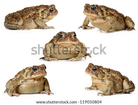 set of toads Isolated on white background - stock photo