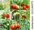 Set of Tomatoes growing (flowers, green, red) - stock photo