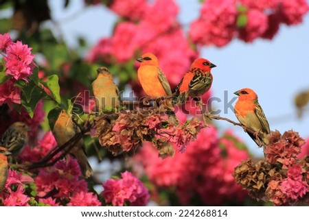 Set of tropical birds, Kardinals of Seychelles islands on a pink  bougainvillea. - stock photo