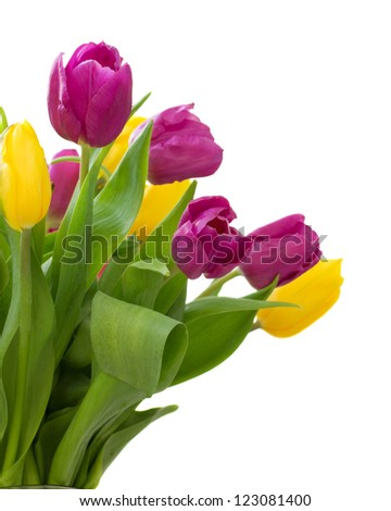 set of tulips yellow and violet  isolated on white background - stock photo